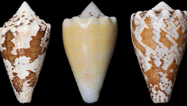Ученые обнаружили замену морфию вяде морских улиток -«киллеров»
