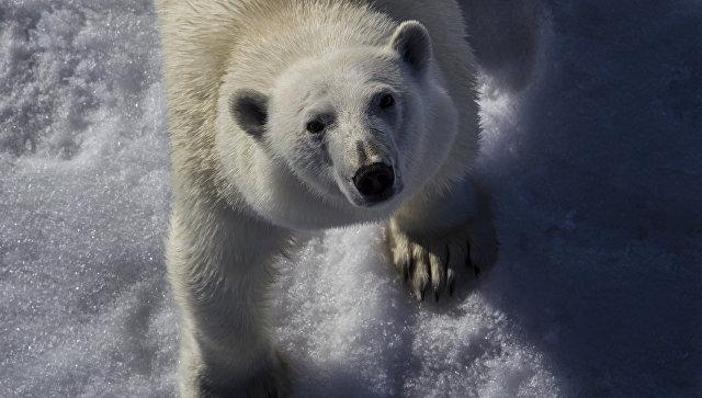 МинприродыРФ оценило угрозу для популяция белого полярного медведя