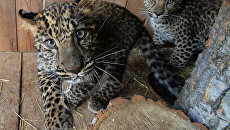 Леопарды. Архивное фото