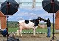 Корову готовят к фотосессии во время ежегодной выставки молочных коров Шоу лучших в Нижней Саксонии