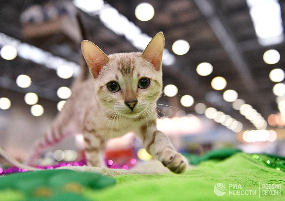 Кошка породы бенгальская на международной выставке Кэтсбург 2017 в Москве