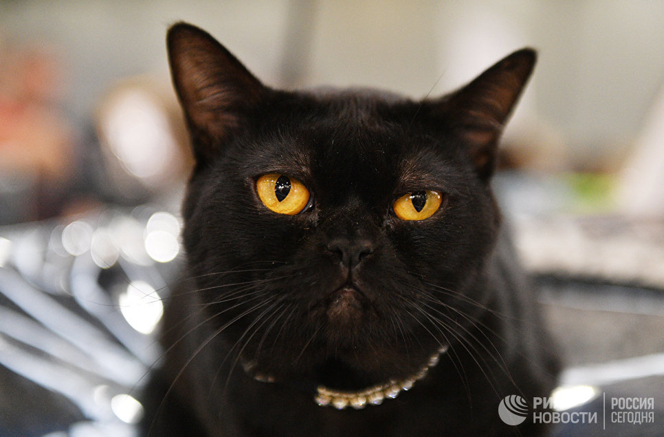 Кошка породы бурма на международной выставке Кэтсбург 2017 в Москве