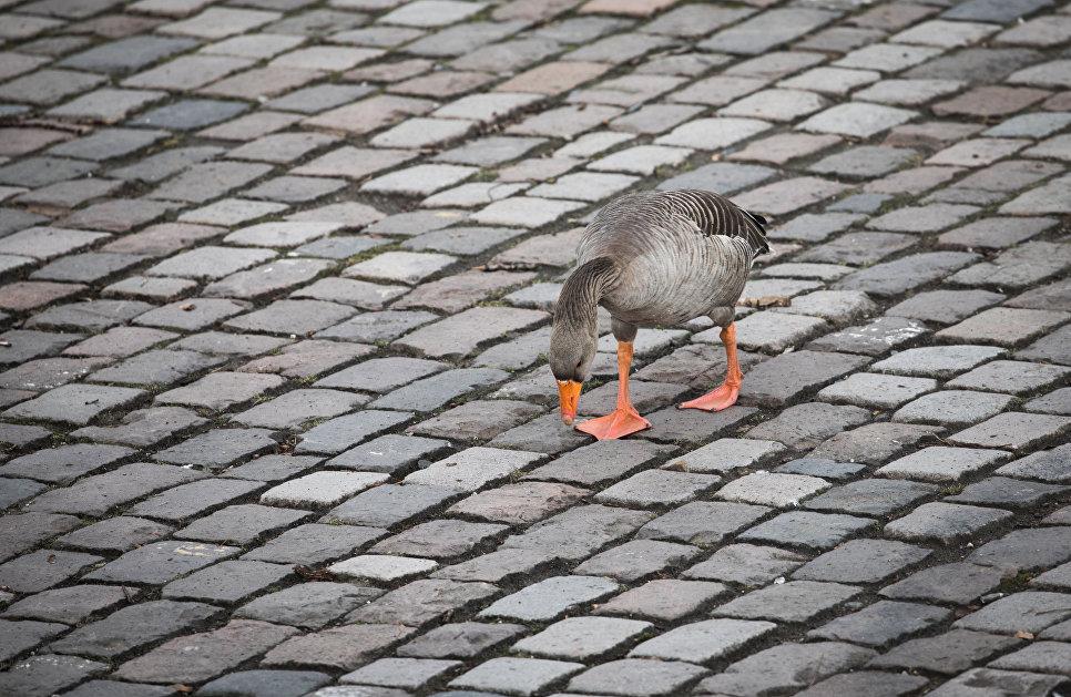 Гусь ищет еду на мостовой во Франкфурте-на-Майне, Германия