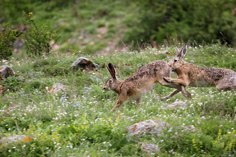 Постоянный обитатель заповедника заяц-русак