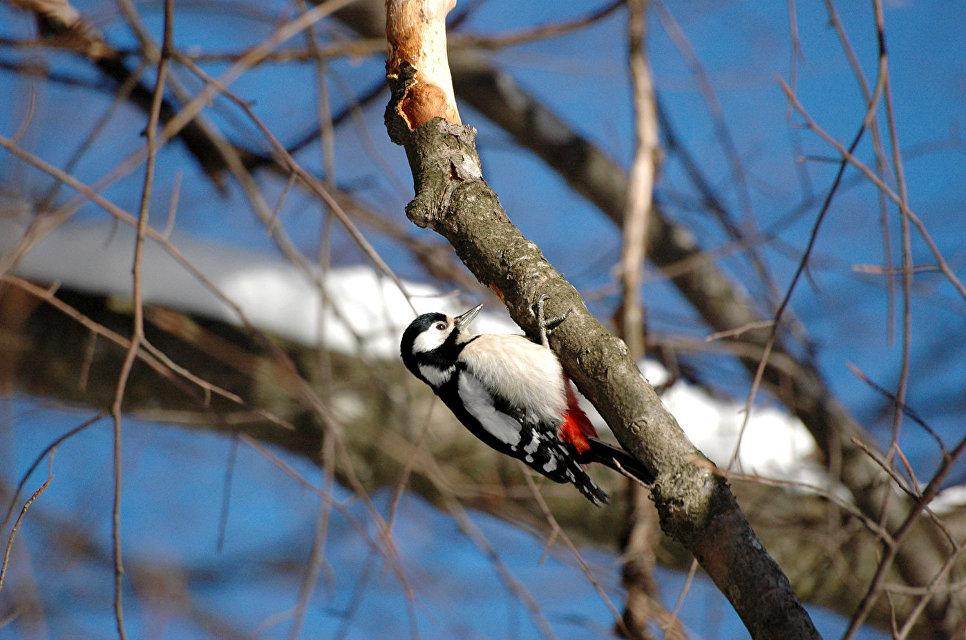 Для каждого высотного пояса заповедника характерны свои обитатели из числа птиц. На снимке: большой пестрый дятел