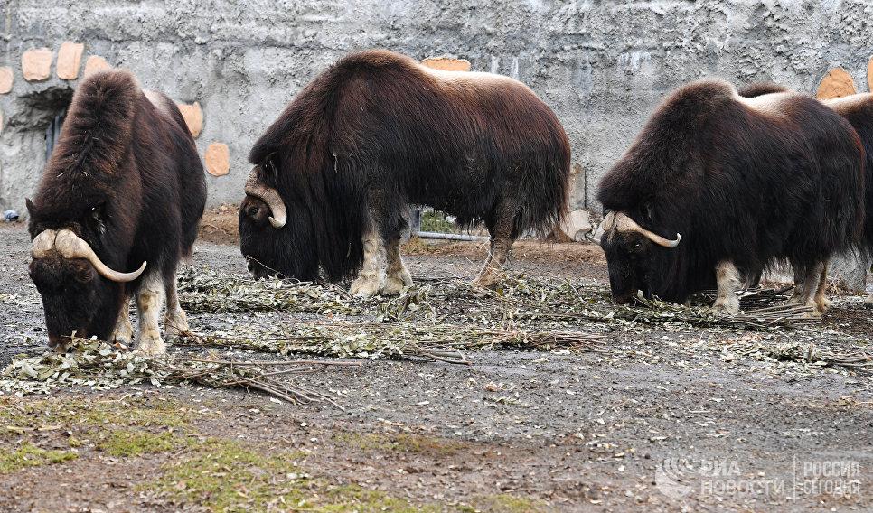 Овцебыки в Московском зоопарке