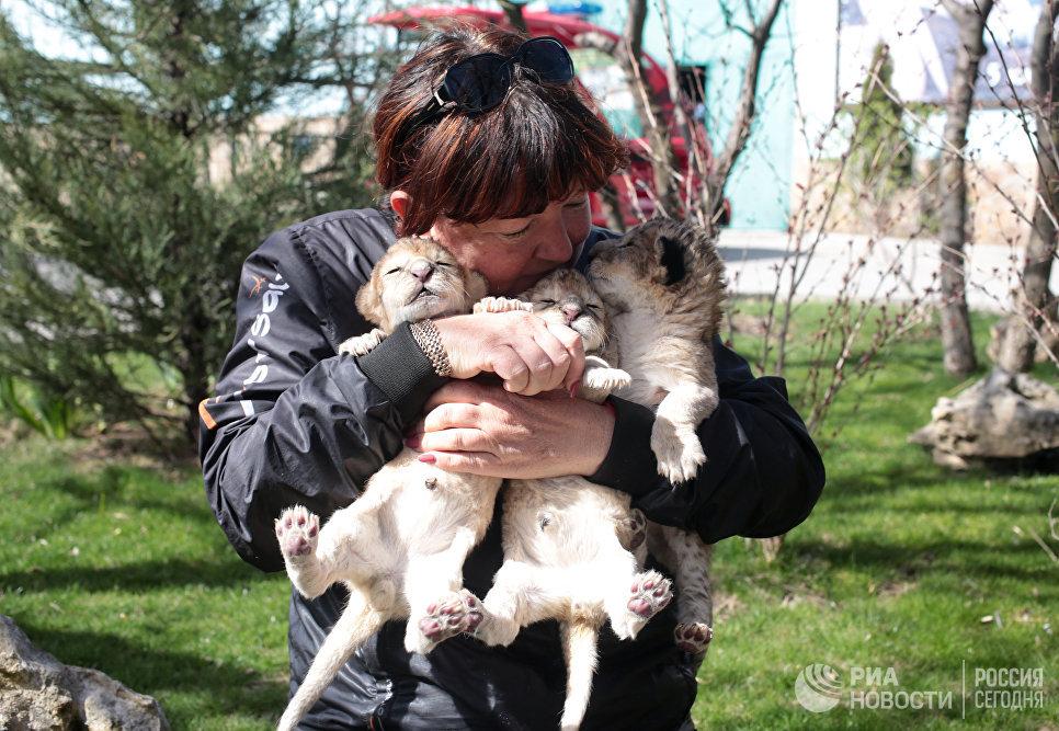 Новорожденные львята на руках у работницы Белогорского парка львов Тайган