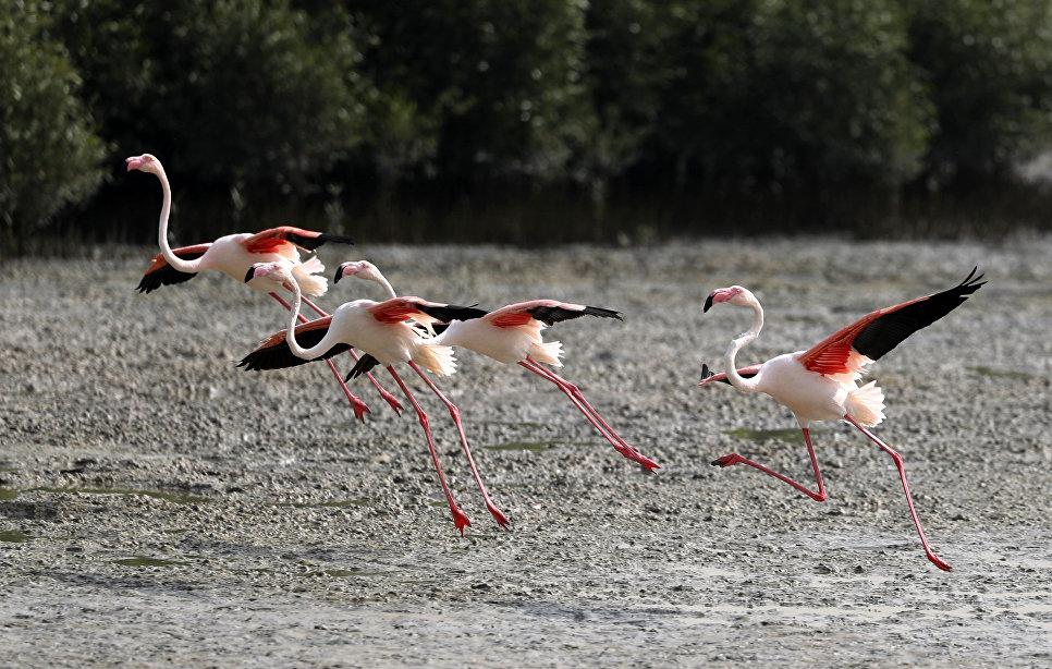 Розовые фламинго в заповеднике Ras al-Khor Wildlife Sanctuary в Дубае
