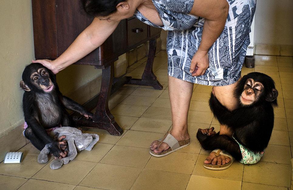Зоолог из Гаваны с двумя шимпанзе, живущими у нее в квартире