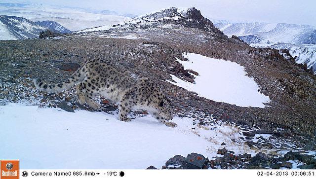 В Республике Алтай обнаружены новые места обитания ирбиса