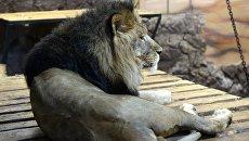Африканский лев. Архивное фото