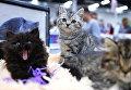 Кошки на международной выставке Кубок Валенсии - Весна в Москве