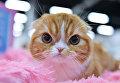 Кошка породы шотландская вислоухая (скоттиш-фолд) на международной выставке Кубок Валенсии - Весна в Москве