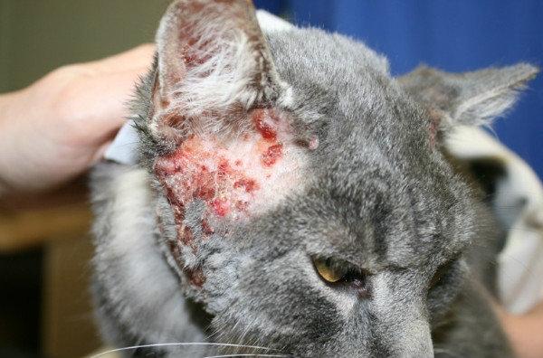аллергия у котенка на корм симптомы