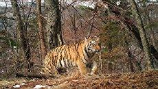 Котенок амурского тигра на Земле леопарда