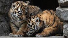 Детеныши амурских тигров. Архивное фото