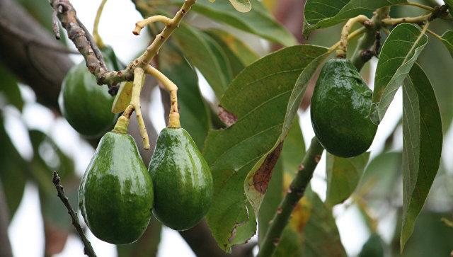 ВКалифорнии украдена партия авокадо на 300 тысяч долларов