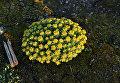 Золотой корень – особо охраняемое растение Арктики. Побережье Баренцева моря. 2016.