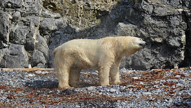 Больше 200 белых медведей скопились утуши кита наЧукотке