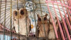 Дикие совы, пойманные браконьерами в Индонезии