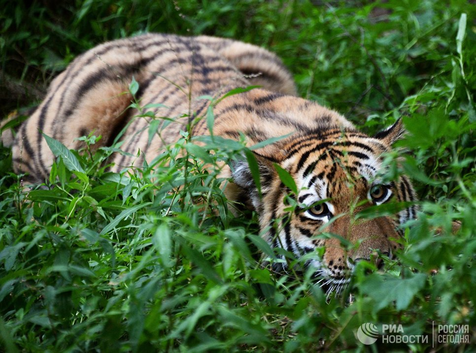 Десятимесячный тигренок Шерхан в Приморском сафари-парке