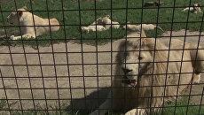 Великолепная пятерка: белые львята играют в вольере зоопарка в чешском Боровани