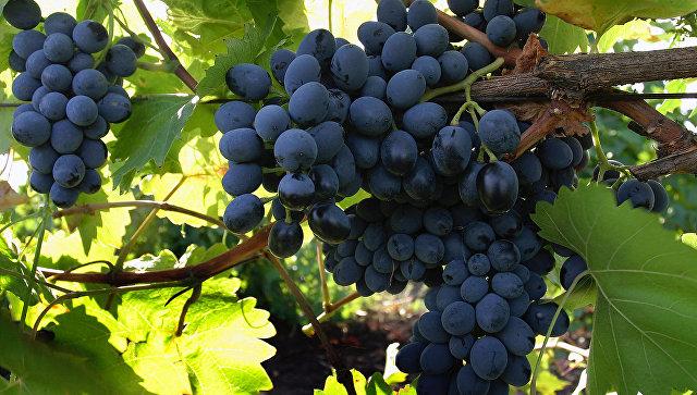 ВДагестане собрали рекордный урожай винограда