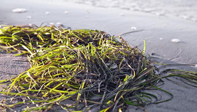 Морская трава. Архивное фото
