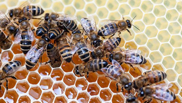 Пчелы на сотах. Архивное фото