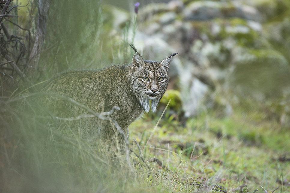Работа фотографа из Испании Laura Albiac Vilas Glimpse of a lynx в категории Молодой фотограф от 11 до 14 лет в финале конкурса Wildlife Photographer of the Year 2017
