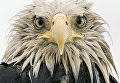 Работа фотографа из Германии Klaus Nigge Bold eagle в категории Портреты животных в финале конкурса Wildlife Photographer of the Year 2017