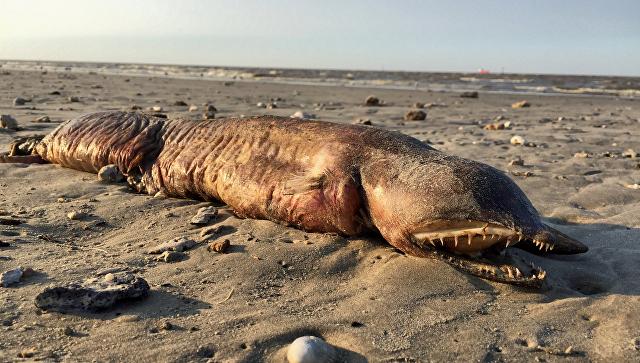 Существо, обнаруженное на пляже в Техасе