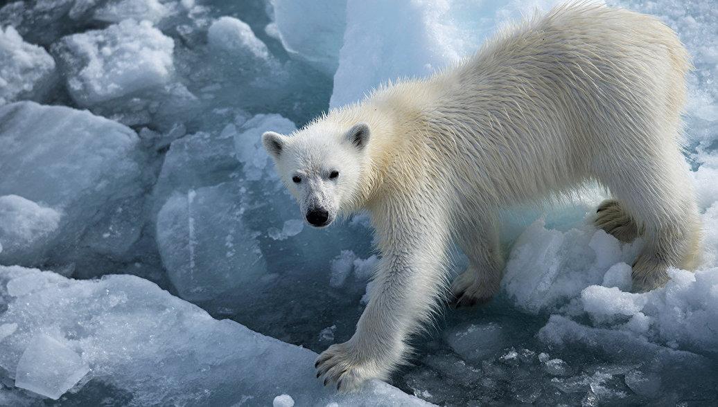 Московский зоопарк примет потерявшего мать белого медвежонка