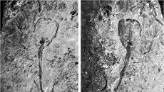 Тюльпан Siphusauctum lloydguntheri, живший на дне морей Земли 500 миллионов лет назад