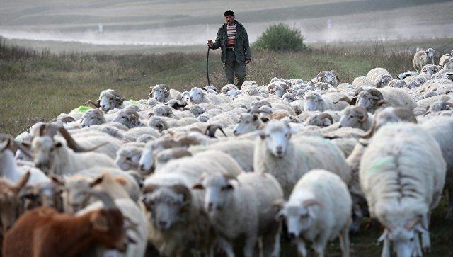 Местный житель пасет баранов в Республике Дагестан. Архивное фото