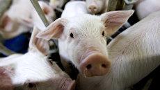 Свиньи в свиноводческом комплексе. Архивное фото
