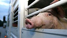 Свинья во время транспортировки в грузовике. архивное фото