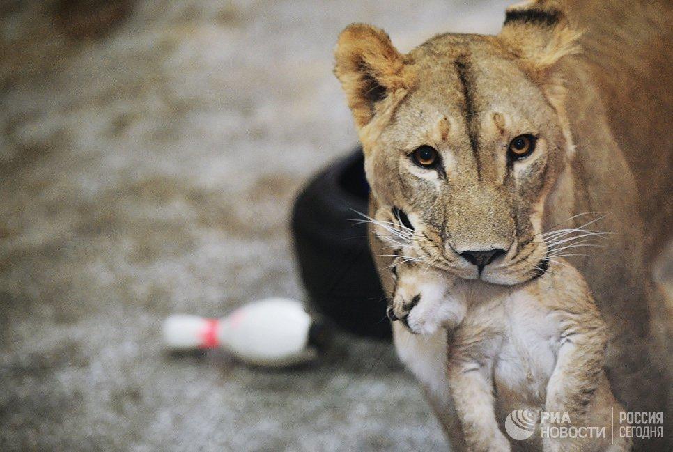 Африканская львица Эмма с одним из трех львят в Екатеринбургском зоопарке