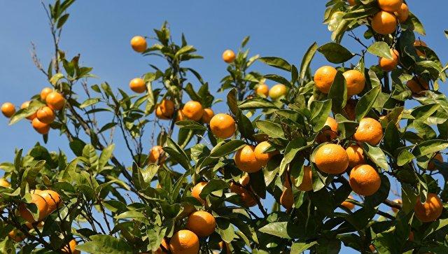Мандариновые деревья. Архивное фото.