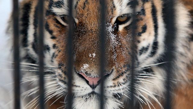 В Приморье провели съемки амурского тигра для нового сериала Netflix