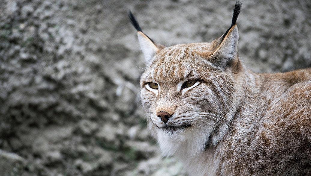 Рысь могут занести в Красную книгу Красноярского края
