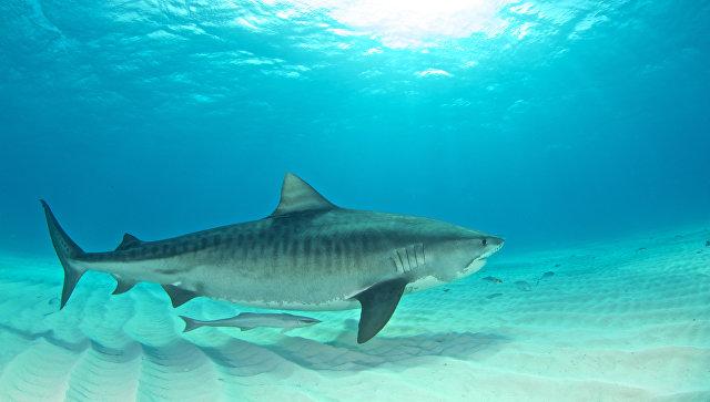 Тигровая акула. Архивное фото