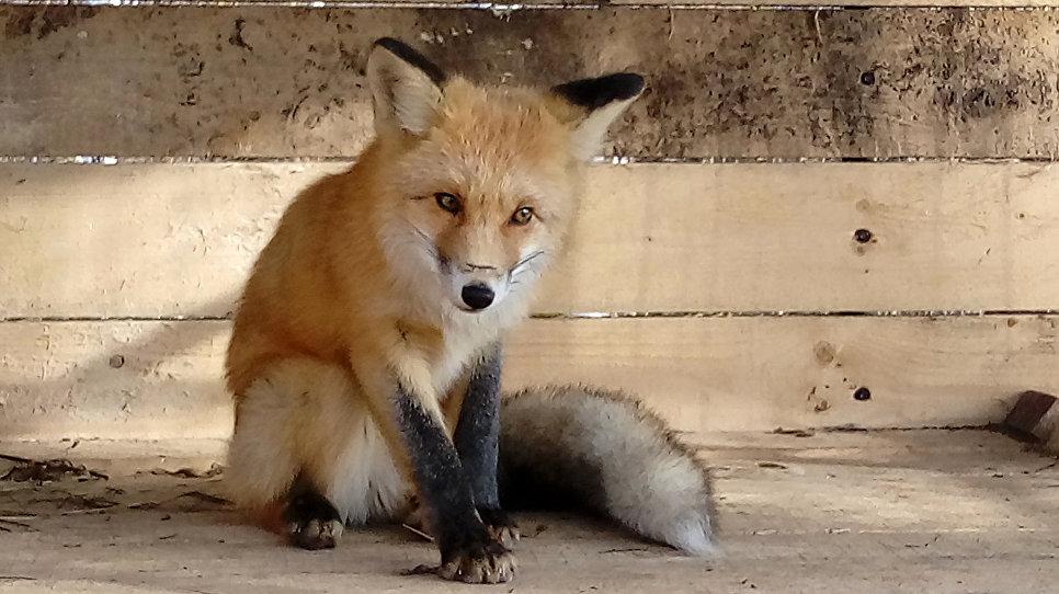 В начале зимы в поселок Новый Улус стала наведываться лиса в поисках пропитания. Она была истощена и напугана, что говорило о том, что животное не получает достаточного количества пропитания