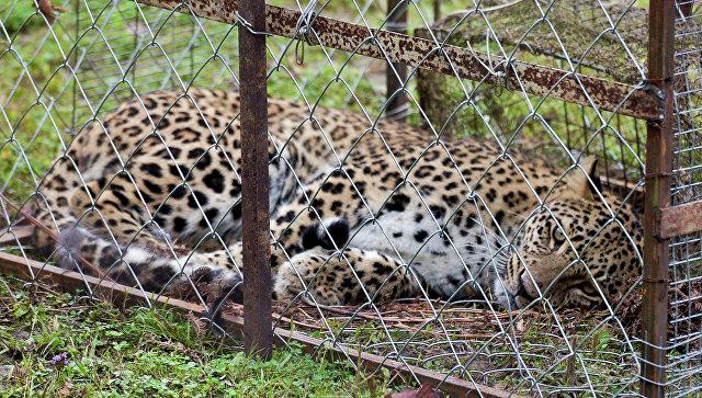 Александр Хлопонин лично поблагодарил жителя Лыхны за поимку леопарда