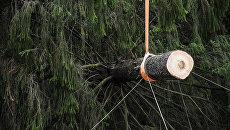 Ствол срубленной ели. Архивное фото