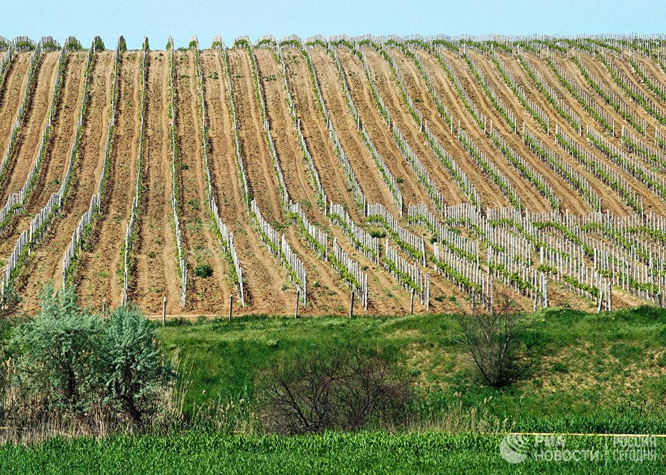 Виноградники на территории Инкерманского завода марочных вин в Инкермане.