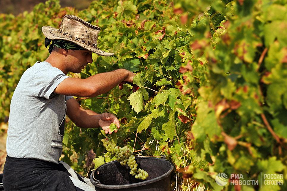 Трудовые туристы собирают урожай на виноградниках ФГУП ПАО «Массандра».