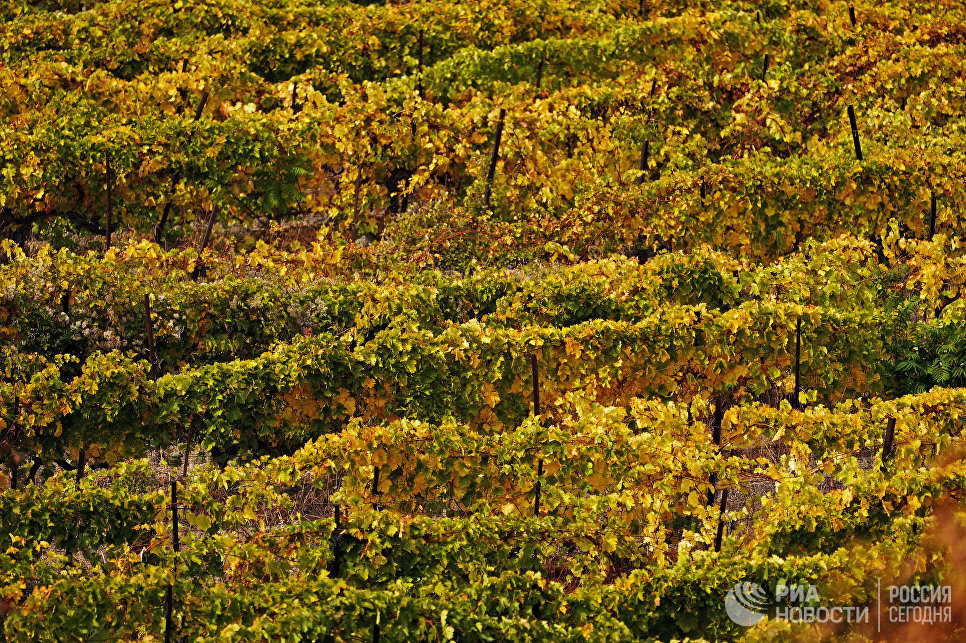 Климат Южного берега Крыма благоприятен для выращивания винограда и отличается мягкой зимой, не очень жарким летом, благодатной весной и щедрой на тепло осенью.