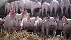 Свиноводческий комплекс во Франции. Архивное фото