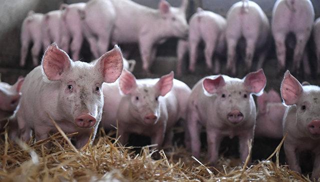 Девять стран приостановили импорт свинины из Бельгии из-за АЧС